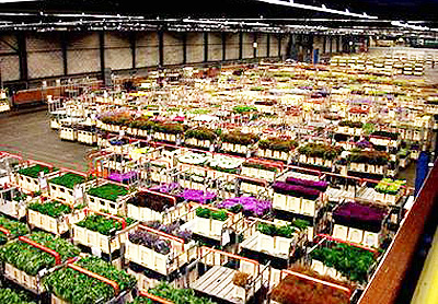 Largest-building-Aalsmeer-Flower-Auction